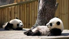 Los pandas gigantes del Zoo de Madrid ya viajan rumbo a China